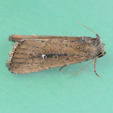 9690 White-dotted Groundling - Condica videns