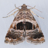 9011.96 Tripudia new-species