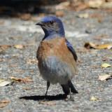 Mountain Bluebird - Palomar Mtn. State Park