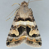 8614 Bulia deducta - male