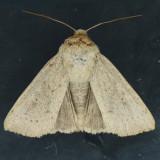 10461 Ursula Wainscot Moth - Leucania ursula