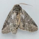 Unidentified Lochmaeus 2