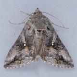 8895 Gray Looper - Rachiplusia ou