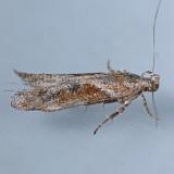 1986 Goldenrod Elliptical-Gall Moth - Gnorimoschema gallaesolidaginis