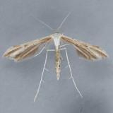 Emmelina monodactyla - OK & ON vs. BC