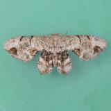 Callizzia amorata - Two species