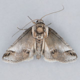 Baileya australis - OK and Canada vs. TN
