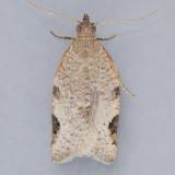 Clepsis virescana - Two species?