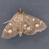 Anania coronata - Two species ?