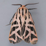 Grammia phyllira - Two species?