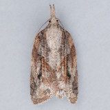 Platynota idaeusalis - OK & TN vs. ON