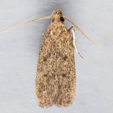 1136.1  Juniper Tip Moth - Glyphidocera juniperella