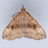 Phalaenostola eumelusalis - 2 species?