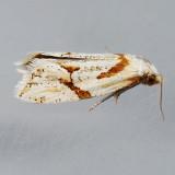 3760.1 Seriated Aethes Moth - Aethes seriatana