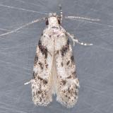 Pseudotelphusa quercinigracella - 2 species