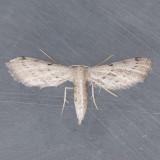 Euacidalia sericearia - Local variation