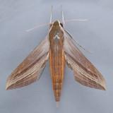 Xylophanes tersa - 2 species?