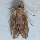 9889 Wanton Pinion Moth - Lithophane petulca