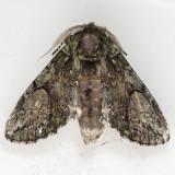 7990 White-blotched Heterocampa - Heterocampa umbrata