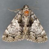 8721 False Underwing Moth - Allotria elonympha