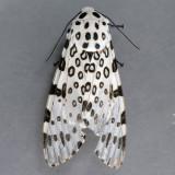 8146  Giant Leopard Moth - Hypercompe scribonia