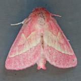 8022 Pink Prominent  - Hyparpax aurora