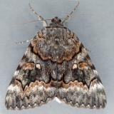 8773  Epione Underwing - Catocala epione