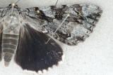 8790 Dejected Underwing - Catocala dejecta