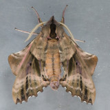 7824 Blinded Sphinx - Paonias excaeacatus