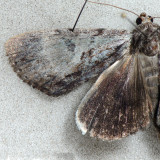 8849 Andromeda Underwing - Catocala andromedae