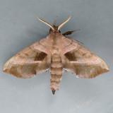 7827 Walnut Sphinx - Amorpha juglandis