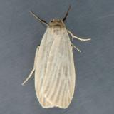 8045.1 Pale Lichen Moth - Crambidia pallida