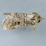 7998 Variable Oakleaf Caterpillar Moth - Lochmaeus manteo