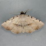 8769  Moon-lined Moth - Spiloloma lunilinea