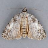 9664 White-blotched Balsa - Balsa labecula