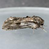 8017 White-streaked Prominent - Oligocentria lignicolor