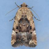 9679 Chalcedony Midget - Elaphria chalcedonia