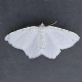6273 Lesser Maple Spanworm - Macaria pustularia
