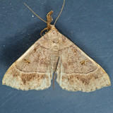 8384.1 Yellow-spotted Renia - Renia flavipunctalis