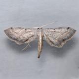 7087  Euacidalia sericearia