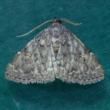 8333  Toothed Idia Moth - Idia denticulalis