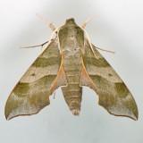7885 Virginia Creeper Sphinx - Darapsa myron