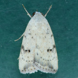 9644 Triplex Cutworm - Micrathetis triplex