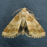 11112 Sordid Flower Moth – Schinia sordidus