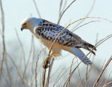 Red-tailed Hawk - Krider's Hawk