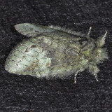 7995 Wavy-lined Heterocampa - Heterocampa biundata