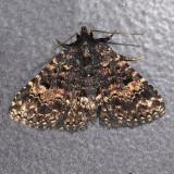 8503 Diabolical Fungus Moth - Metalectra diabolica