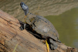 Red-eared Slider old adult male