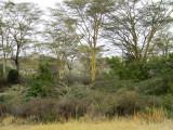 Yellow-fever Acacia