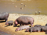 Hippos, Egyptian Geese